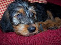 img/otterhound%20082.jpg